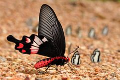 Adamson rose butterfly. Of Thailand background Royalty Free Stock Images