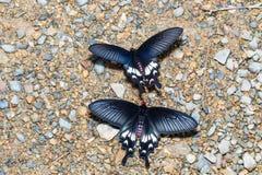 Adamson Rosen-Schmetterling (Byasa-adamsoni) Lebensmittel von nassem saugend Stockbilder