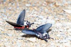 Adamson Rosen-Schmetterling (Byasa-adamsoni) Lebensmittel von nassem saugend Stockfotografie