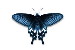 Adamson's Rose butterfly Royalty Free Stock Photography