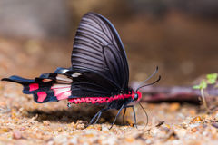 Adamson& x27; Schmetterling s Rose Stockfoto