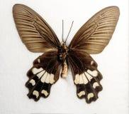 Adamsoni di Adamsons Rose Butterfly Byasa Immagine Stock Libera da Diritti