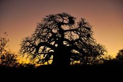 adansonia猴面包树digitata结构树 免版税库存照片