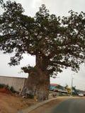 Adansonia digitata, Baobab stock images