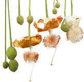 Adansonia Digitata-Blume stockbilder