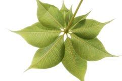 Adansonia gregorii (Australian Boab) Stock Images