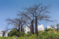 Adansonia suarezensis Stock Photos