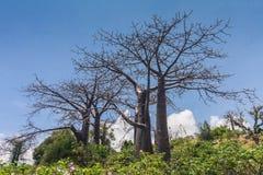 Adansonia suarezensis Stockfotos