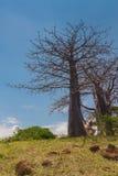 Adansonia suarezensis Stockbild