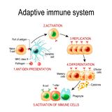 Adaptive immune system from Antigen presentation to activation o. F other immune cells. specific immune. T-helper and T-killer cells. Memory and Effector cells stock illustration
