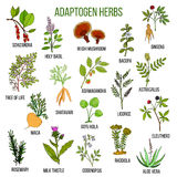 Adaptogen herbs. Hand drawn set of medicinal plants. Adaptogen herbs. Hand drawn vector set of medicinal plants Stock Photos