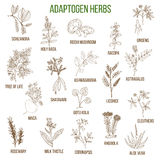 Adaptogen herbs. Hand drawn set of medicinal plants. Adaptogen herbs. Hand drawn vector set of medicinal plants Stock Photo