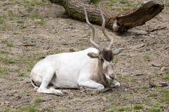 Adax,曲角羚羊nasomaculatus,沙漠羚羊 库存图片