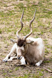 Adax,曲角羚羊nasomaculatus,沙漠羚羊 免版税图库摄影