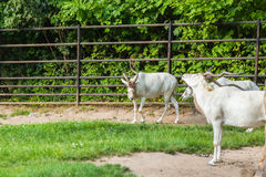 Adax - белые антилопы Зоопарк, дикие животные и млекопитающаяся концепция Стоковые Изображения RF