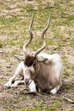 Adax, Addax nasomaculatus, a desert antelope Royalty Free Stock Photography