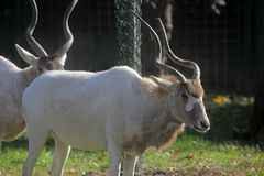 Adax antilop Royaltyfri Foto