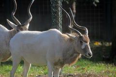 Adax-Antilope Lizenzfreies Stockfoto