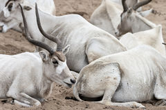 Adax - White Antelope Herd Royalty Free Stock Photos