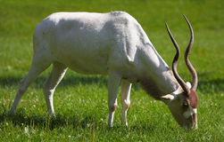 Adax. White antelope. Sort : Addax nasomaculatus stock photo