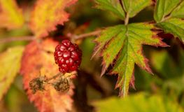 ADCY0275318SL-BlackBerry zdjęcie stock