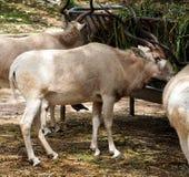 Addax, άσπρο αντιλόπη ή Addax Nasomaculatus Στοκ φωτογραφία με δικαίωμα ελεύθερης χρήσης