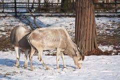 addax ζωολογικός κήπος Στοκ Εικόνες