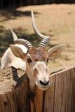 addax антилопа также как известное screwhorn Стоковые Фотографии RF