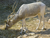 Addax antelope 1 royalty free stock photo