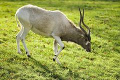 The addax Stock Images