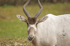 Free Addax Royalty Free Stock Photography - 28158127