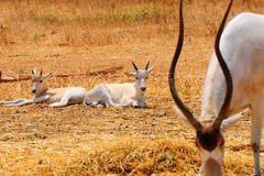 Addax Stock Photos