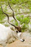 Addax - Addax nasomaculatus Stock Photo