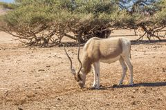 Addax Addax nasomaculatus, aka screwhorn antelope, white antelope or Curved horned antelope. Addax in the `Hay-Bar` Yotvata Nature Reserve for restoration of royalty free stock photo