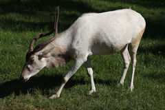 Addax (Addax nasomaculatus) Stock Photo
