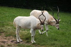 Addax (Addax nasomaculatus) Stock Photos