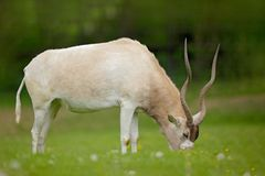 Addax, Addax nasomaculatus, white antelope, rainy season in Namibia. Big animal with horn, feeding green grass, forest background. stock photo