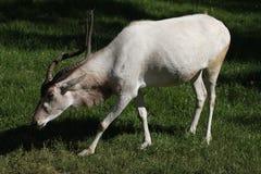 Addax (Addaxnasomaculatus) Arkivfoto