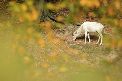 Addax Royalty Free Stock Photos