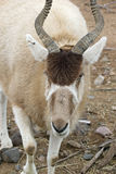 Addax Royalty Free Stock Photography