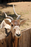 An Addax, also known as the screwhorn antelope Royalty Free Stock Photos