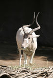 Addax Antelope Royalty Free Stock Image