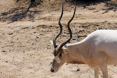 Addax Antelope Stock Images