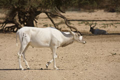 Addax antelope Stock Photos