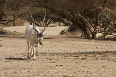 Addax antelope Royalty Free Stock Photography