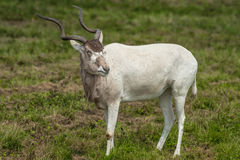Addax antelope Royalty Free Stock Photos