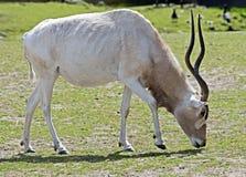 Addax antelope 6 Stock Image