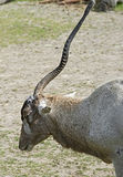 Addax antelope 3 Stock Photos
