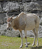 Addax antelope 4 Stock Image