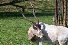Addax Antelope Royalty Free Stock Image